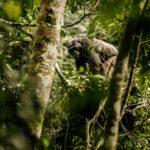 Rwanda Chimpanzee