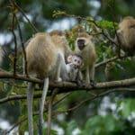 monkeys at Nyungwe forest