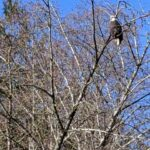 eagle in Squamish