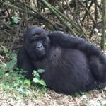 Chilling gorilla