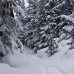 snowy alpine forest