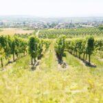 Alsace vineyards