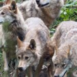 Black forest Bear and Wolf sanctuary (2)